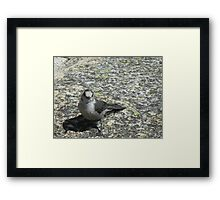 Friendly Gray Jay Framed Print