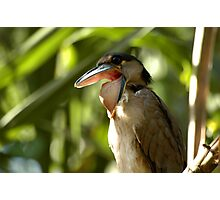 Costa Rica - Boat billed heron Photographic Print