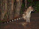 Night visitor by Explorations Africa Dan MacKenzie