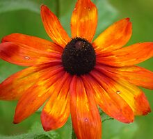 Rudbeckia in My Garden by lorilee