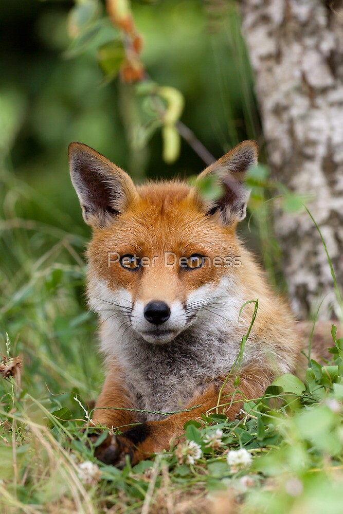 Red Fox (Vulpes Vulpes) by Peter Denness