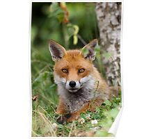 Red Fox (Vulpes Vulpes) Poster