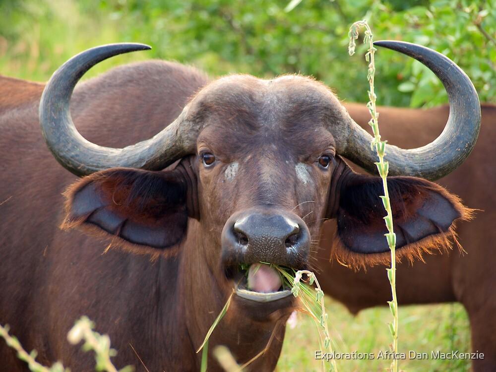 Buffalo babe by Explorations Africa Dan MacKenzie
