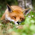 Fox Dream by Peter Denness