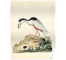 New Illustrations of Zoology Peter Brown 1776 0175 Birds Poster