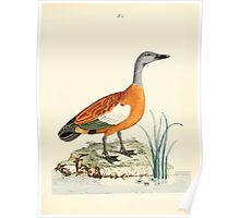 New Illustrations of Zoology Peter Brown 1776 0199 Birds Poster
