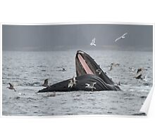 Surface Lunging Humpback Whale Poster