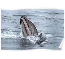 Surface Lunging Humpback Whale II Poster