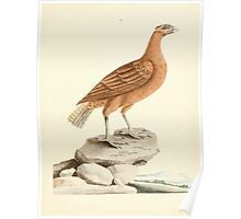 New Illustrations of Zoology Peter Brown 1776 0017 Birds Poster
