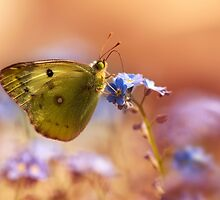 Brown and yellow butterly on forget me not flower by JBlaminsky