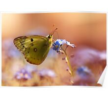 Brown and yellow butterly on forget me not flower Poster