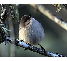 Bushtit Out for its Evening Meal Photographic Print