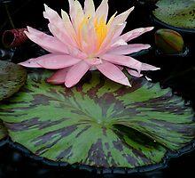 Pink Water Lily by Adam Bykowski