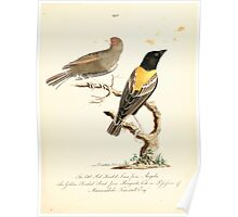 New Illustrations of Zoology Peter Brown 1776 0121 Birds Poster