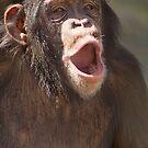 """Chimp Chant"" - chimpanzee getting vocal by John Hartung"