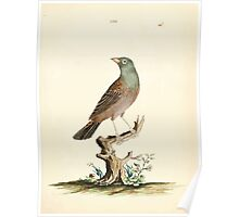 New Illustrations of Zoology Peter Brown 1776 0145 Birds Poster