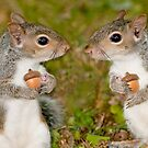 """""""Squirelling Away"""" - eastern gray squirrels with acorns by ArtThatSmiles"""