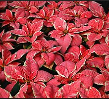 Poinsettia Gathering by Mattie Bryant