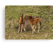 foal fight Canvas Print