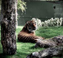 Tiger by Saija  Lehtonen