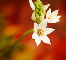 White flower on red background by Arenaah