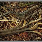 Cedar Roots by Ray Wells
