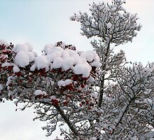 Snow Berries by trish725