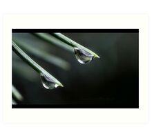 Pine needle and drops Art Print