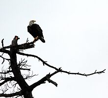 Perched Bald Eagle by Debbie Oppermann