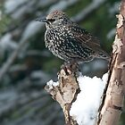 starling by Grandalf