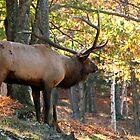 Elk by Alain Turgeon