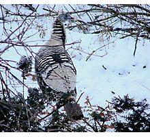 Buffy female turkey Photographic Print