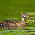 Wood Duck by Daniel  Parent