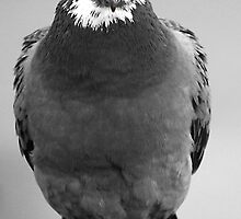 Red Eyed Pigeon by simpsonvisuals
