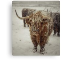 Highlands Snow Coo Canvas Print