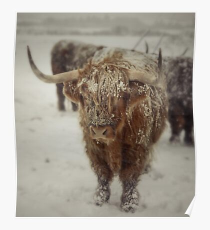 Highlands Snow Coo Poster