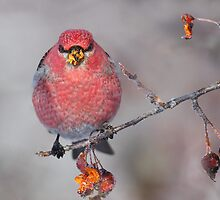 Messy Beak / Pine Grosbeak by Gary Fairhead