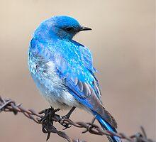 Mountain Blue Bird by Vicky Hamilton