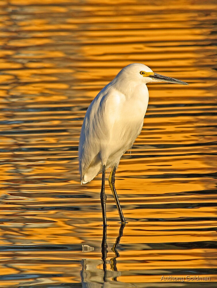 Golden snowy egret by jozi1
