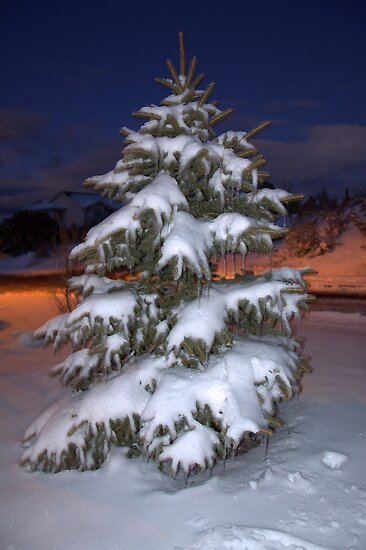 Blue Spruce At Sunset by Diana Graves Photography