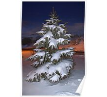 Blue Spruce At Sunset Poster