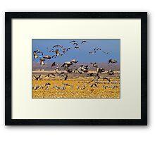 121810 Sandhill Cranes Framed Print
