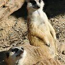 Meekats at Lowry Park Zoo by Sheryl Unwin