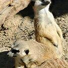 Meekats II at Lowry Park Zoo by Sheryl Unwin