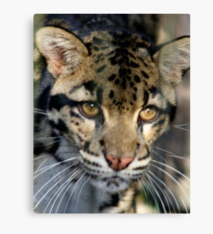 Clouded Leopard at Lowry Park Zoo Canvas Print