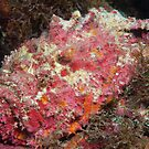 Reef Stonefish, off Port Moresby, Papua New Guinea by Erik Schlogl