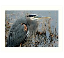Great Blue Closeup Art Print