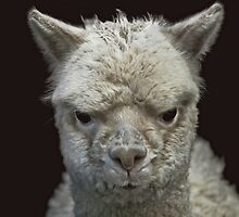 Grumpy Alpaca by Lance Leopold