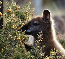 Afternoon light: Bennetts wallaby! by Ian Cox
