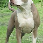 American Pit Bull Terriers - Dogs & Puppies - by Ginny York by Ginny York